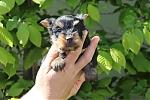 Yorkshire-terrier-teef-7665-2.JPG