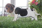 adoption_beagle_6234.jpg