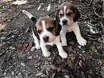 beagle-31mei-meisjes.jpg