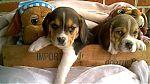 beagle-a-acheter-1191.jpg