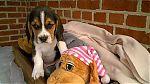 beagle-boy-1147.jpg
