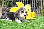 beagle-man-7066a_28Kopieren29.jpg