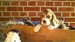 beagle-meisje8980.jpg