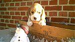 beagle-meisje9078.jpg