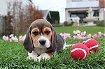 beagle-teef-7632-1_28Kopie29.JPG