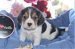 beagle_a_adopter_6147.jpg