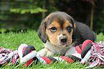 beagle_adoption_4723.JPG