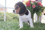beagle_adoption_6224.jpg