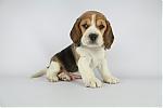 beagle_man_7683_281329.JPG