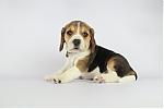 beagle_teef_7682.JPG