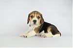 beagle_teef_7682_28329.JPG