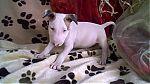 bull-terrier-reu2299.jpg