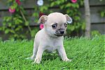 chihuahua_pictures.JPG