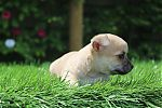 chihuahua_pregnancy_1673.JPG