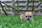 chihuahua_pregnancy_9295.jpg