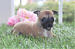chihuahua_training_6251.jpg