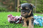 coupe_pour_yorkshire_terrier_5293.JPG