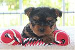 coupe_yorkshire_terrier_4771.jpg