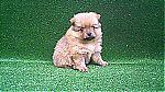 cute_pomeranian_puppies_9031.jpg