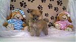 dog-breeder-poms-6031a.jpg