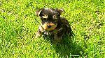 elevage_de_yorkshire_terrier.jpg