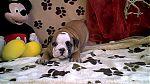 engelse-bulldog-reu2247.jpg