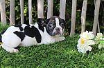 franse-bulldog-meisje-0621_28Kopieren29.jpg