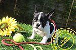 franse-bulldog-vrouwtje-9232d_28Kopieren29.jpg