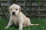 golden-retriever-meisje-9309a_28Kopieren29.JPG
