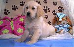 golden-retriever-puppies-for-sale-7200.jpg