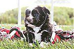 malchi_dogs_for_sale_7133.jpg