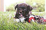malchi_puppies_for_sale_7096.jpg