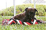 malchi_puppies_for_sale_uk_7112.jpg