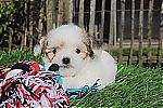 malchi_puppies_price_5255.jpg