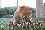 miniature_pomeranian_puppies_7455.jpg