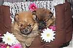 pictures_of_pomeranian_dogs.jpg