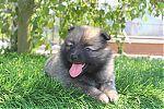 pomeranian-puppy-boo-3065.jpg