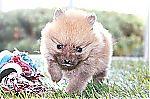 pomeranian_puppies_for_sale_7168.jpg