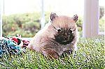 pomeranian_puppy_7128.jpg