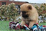 puppy_pomeranian_7691.jpg