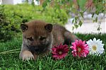 red-fox-shiba-inu-puppy-teef-3329-2_28Kopieren29.jpg