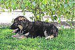 short_haired_german_shepherd_3030.jpg