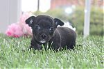 teacup_chihuahua_puppies_for_sale_6250.jpg