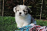 teacup_malchi_puppies_for_sale_6025.jpg