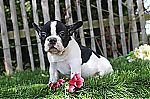 thumb_bouledogue_francais_ventes_adoptions_perdus_animaux_nord_pas_de_calais_0618~1.jpg