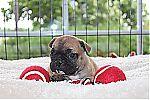 thumb_bulldog_francais_9285~1.jpg