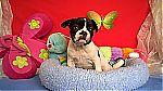 thumb_bulldog_francais_a_vendre_belgique_8236~1.jpg