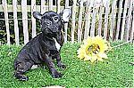 thumb_bulldog_francais_a_vendre_luxembourg_6573~1.jpg
