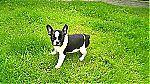 thumb_bulldog_francais_a_vendre~1.jpg