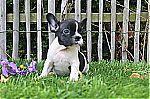 thumb_bulldog_francais_luxembourg_0635~1.jpg